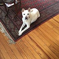 Adopt A Pet :: SNOWBALL - HAGGERSTOWN, MD