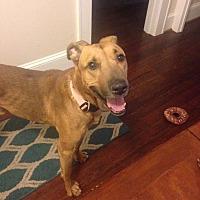 German Shepherd Dog/Greyhound Mix Dog for adoption in Baltimore, Maryland - Romeo