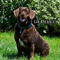 Adopt A Pet :: Lil Debbie - Fremont, MI