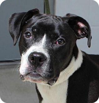 Boxer Mix Puppy for adoption in Harrisonburg, Virginia - Steele