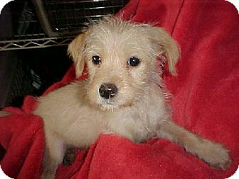 Terrier (Unknown Type, Medium) Mix Puppy for adoption in Anderson, South Carolina - Meeko