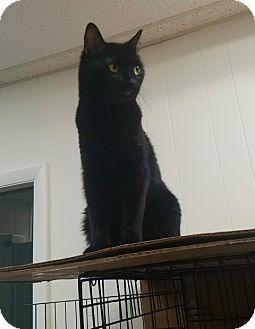 American Shorthair Cat for adoption in Plainville, Massachusetts - Marlie