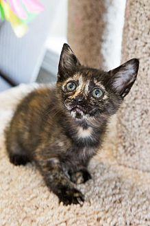 Domestic Shorthair Kitten for adoption in ROWLETT, Texas - Eeyore