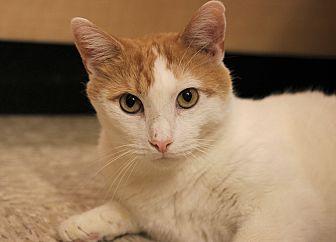 Domestic Shorthair Cat for adoption in Carlisle, Pennsylvania - Buddy