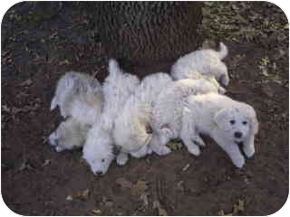 Great Pyrenees Puppy for adoption in Kyle, Texas - Zacharea