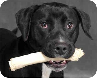 Mastiff/Labrador Retriever Mix Dog for adoption in Chicago, Illinois - Zoom Zoom