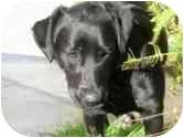 Labrador Retriever Mix Dog for adoption in San Diego, California - EMILY