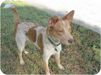 Australian Cattle Dog/Labrador Retriever Mix Dog for adoption in Humble, Texas - Spots