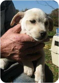 Chihuahua Mix Puppy for adoption in Hagerstown, Maryland - Joe
