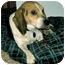 Photo 1 - Beagle Dog for adoption in Waldorf, Maryland - Odie