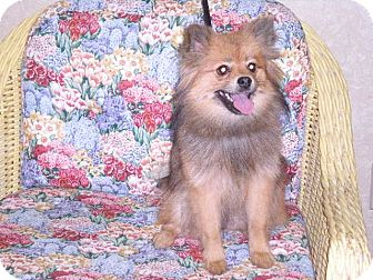 "Pomeranian Dog for adoption in New Castle, Pennsylvania - "" Cocoa """