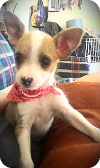 Jack Russell Terrier/Chihuahua Mix Puppy for adoption in north hollywood, California - Lil Cher