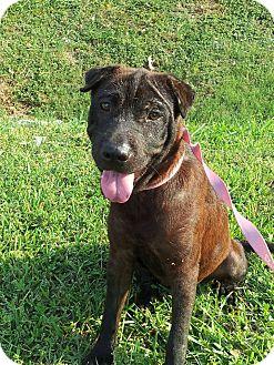 Shar Pei Mix Dog for adoption in Houston, Texas - Lana