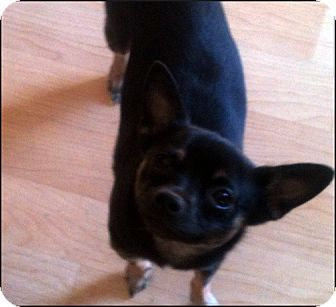 Chihuahua Mix Dog for adoption in Colville, Washington - Macy