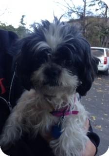 Shih Tzu Mix Dog for adoption in Woodlyn, Pennsylvania - Jade