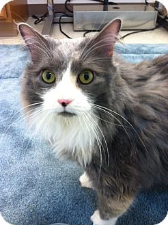 Domestic Longhair Cat for adoption in Trevose, Pennsylvania - Graycie