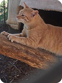 Domestic Shorthair Cat for adoption in Gaffney, South Carolina - Citrus- SPOTTED ORANGE TABBY