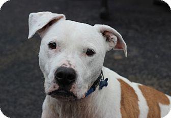 Pit Bull Terrier Mix Dog for adoption in Port Washington, New York - Roscoe