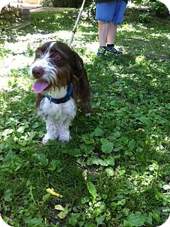 Petit Basset Griffon Vendeen/Terrier (Unknown Type, Medium) Mix Puppy for adoption in Chicago, Illinois - Lima