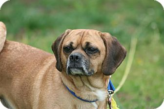 Pug/Beagle Mix Dog for adoption in Greensboro, Maryland - Melo