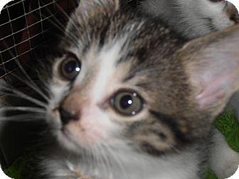 Domestic Shorthair Kitten for adoption in Palatine, Illinois - Gus