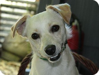 Terrier (Unknown Type, Small) Mix Dog for adoption in Patterson, California - Max