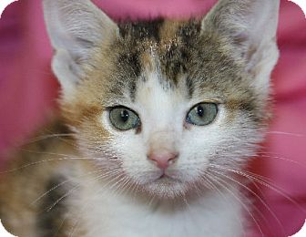 Calico Kitten for adoption in Washburn, Wisconsin - Sweet Charity