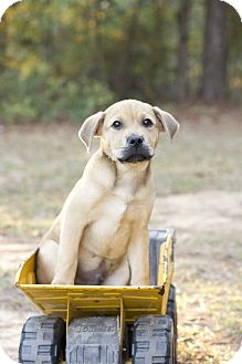 Boxer Mix Puppy for adoption in Glenburn, Maine - Buddy-adoption in progress