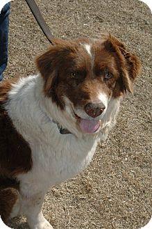 Border Collie Mix Dog for adoption in Allen, Texas - Emma
