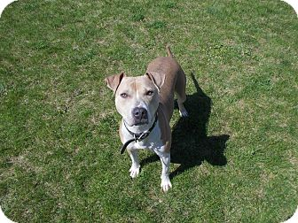 American Pit Bull Terrier Mix Dog for adoption in McClure, Ohio - Lucy