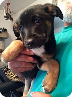 Australian Shepherd/Border Collie Mix Puppy for adoption in ST LOUIS, Missouri - Blossom