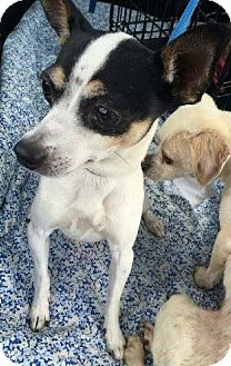 Smooth Fox Terrier/Fox Terrier (Smooth) Mix Dog for adoption in North Olmsted, Ohio - Fozzie