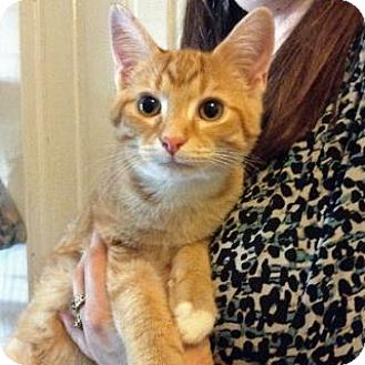 Domestic Shorthair Cat for adoption in Fitchburg, Wisconsin - Aspen