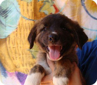 Golden Retriever/Australian Shepherd Mix Puppy for adoption in Oviedo, Florida - Aurora
