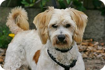 Lhasa Apso/King Charles Spaniel Mix Dog for adoption in Carlsbad, California - Theodor