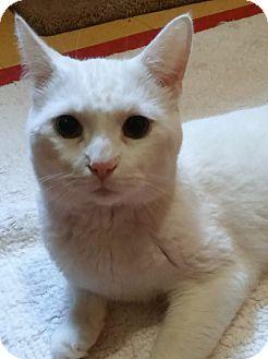 Domestic Shorthair Cat for adoption in Witter, Arkansas - Casper