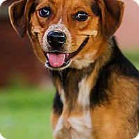 Adopt A Pet :: Pixie - DRD Graduate - Owensboro, KY