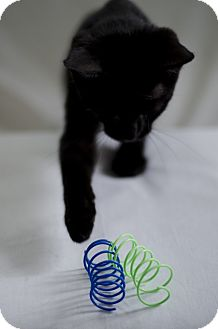 Domestic Shorthair Cat for adoption in Jefferson, North Carolina - Butler