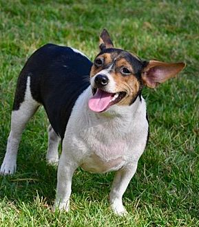 Rat Terrier Mix Dog for adoption in Grand Bay, Alabama - Chrissy (Judy)