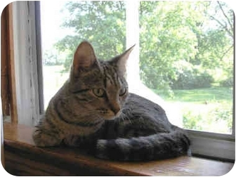 Domestic Shorthair Cat for adoption in Owatonna, Minnesota - Emmie