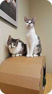 Domestic Shorthair Cat for adoption in La puente, California - Jack