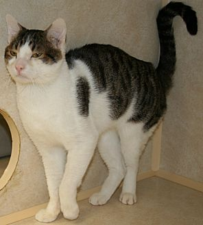 Domestic Mediumhair Cat for adoption in Salisbury, North Carolina - Safrit