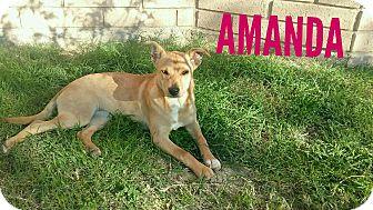 Shepherd (Unknown Type) Mix Puppy for adoption in Mesa, Arizona - AMANDA 5 MO SHEPHERD FEMALE