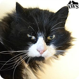Domestic Mediumhair Cat for adoption in West Kennebunk, Maine - Chopper