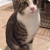 Adopt A Pet :: Figaro - Lexington, KY