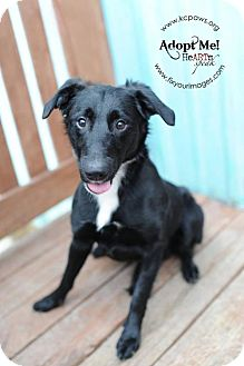 Labrador Retriever Mix Puppy for adoption in Kansas City, Missouri - Wilbur