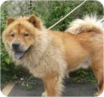 Chow Chow Dog for adoption in New York, New York - Fluffy&Chester
