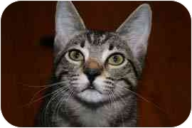 Domestic Shorthair Kitten for adoption in Houston, Texas - Ruby Jewel
