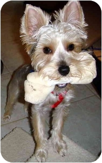 Yorkie, Yorkshire Terrier Puppy for adoption in Orange, California - Tasha