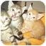 Photo 2 - Domestic Shorthair Kitten for adoption in Little Neck, New York - STILL AVAIL
